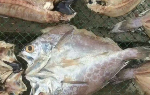 Popular Salt fish for Africa