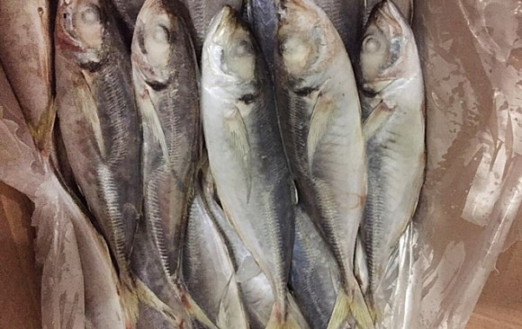 GOOD QUALITY HORSE MACKEREL