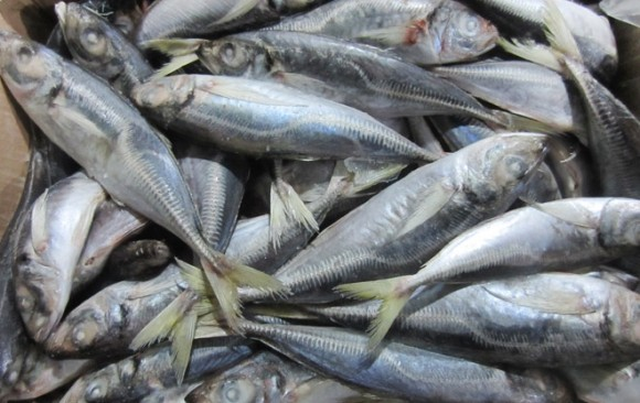 Horse Mackerel