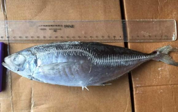size 29cm big horse mackerel