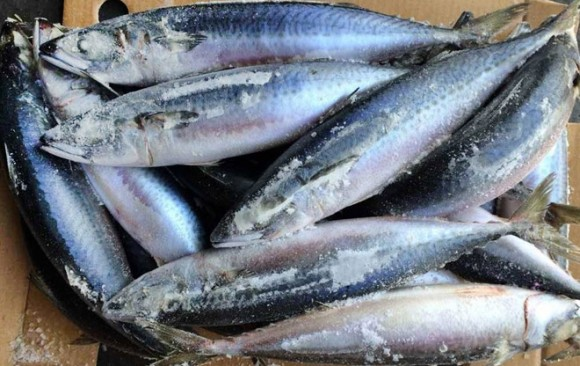 Frozen Pacific Mackerel
