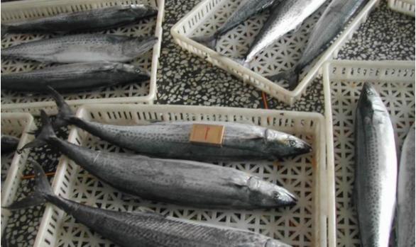 Spanish Mackerel 600g-1000g up